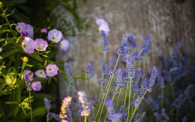 Lavender for Health